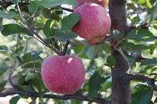 御馨园可采摘的苹果