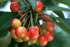 御馨园中红通通的樱桃