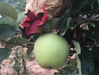 摘袋得苹果