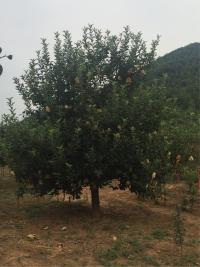 套袋的整个苹果树